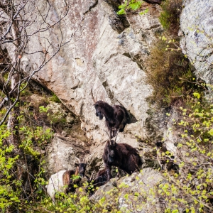 Descendants of farm stock, these feral goats now live wild and free along the rocky shores of Loch Lomond.