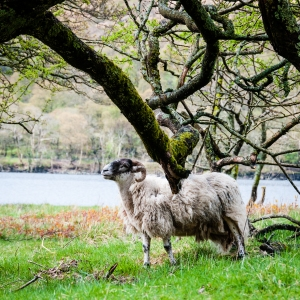 A Scottish Blackface gets a back scratch from a tree branch along the shores of Loch Lomond.