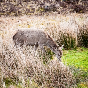 Deer grazing behind Kingshouse Hotel on the West Highland Way.