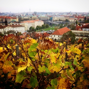 Part of the Prague Castle complex, a small vineyard overlooks the city from it's high perch.
