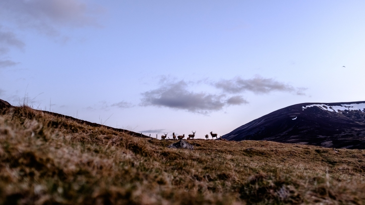 Red Deer At Glenshee
